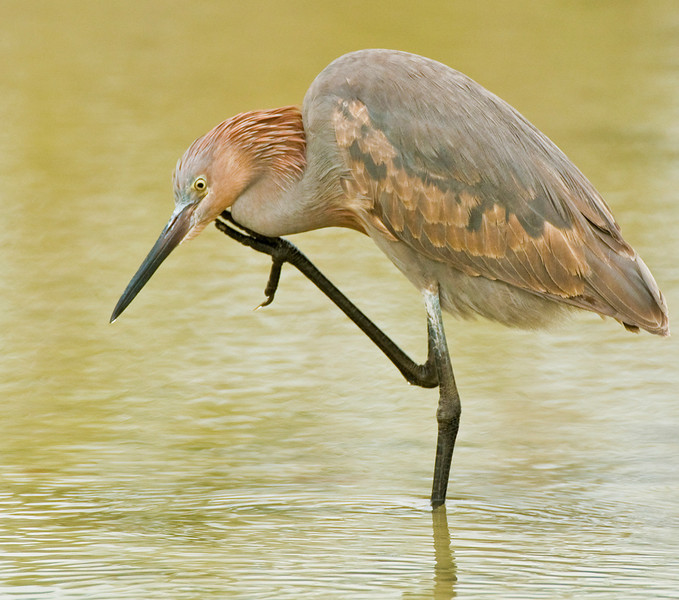 Honorable Mention<br /> Reddish Egret<br /> Ed Cohen