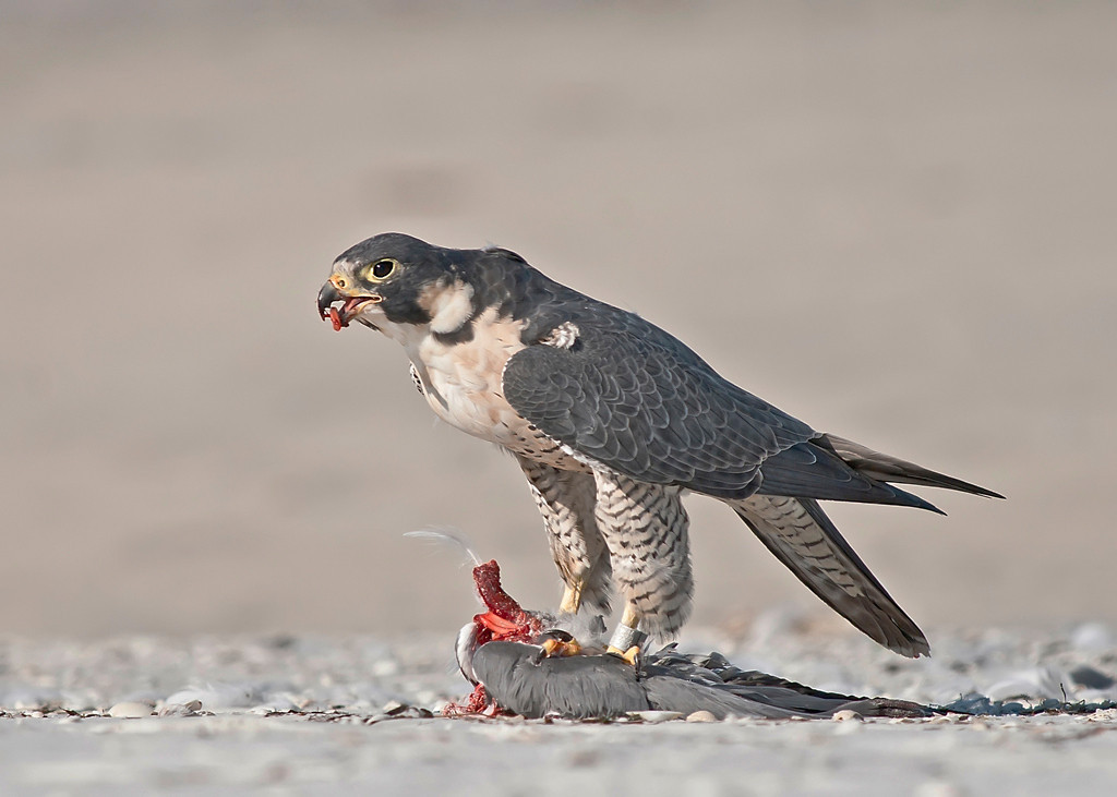 First Place<br /> Peregrine Falcon<br /> Nancy Springer