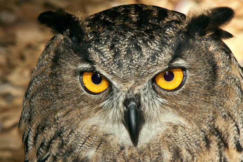 Second Place<br /> Eagle Owl<br /> Jim Carter
