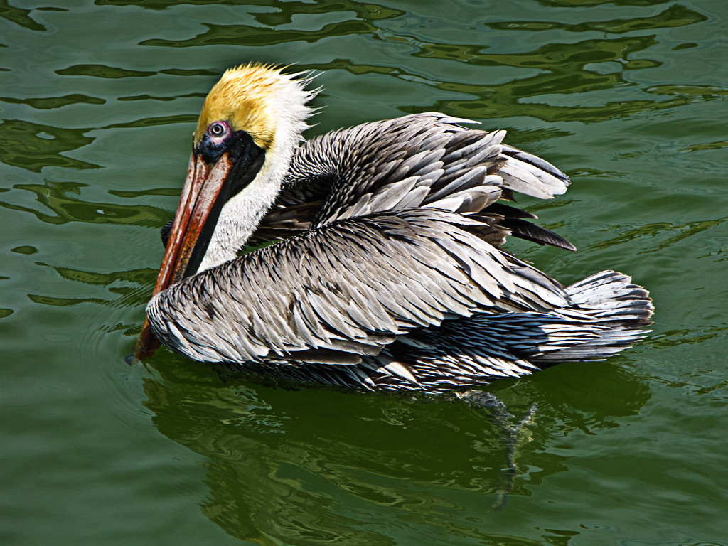 Third Place<br /> Peter Pelican<br /> Gail Frazee