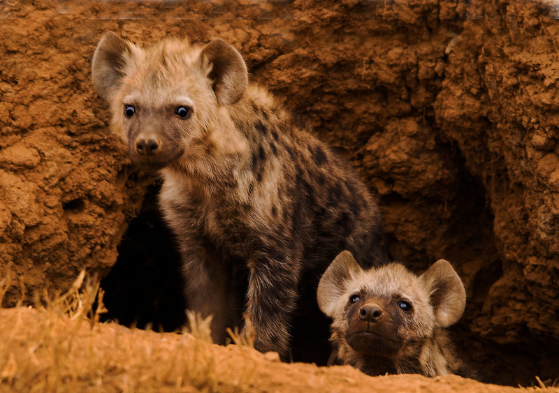Honorable Mention<br /> Pair of Hyena<br /> Ken Rathjen