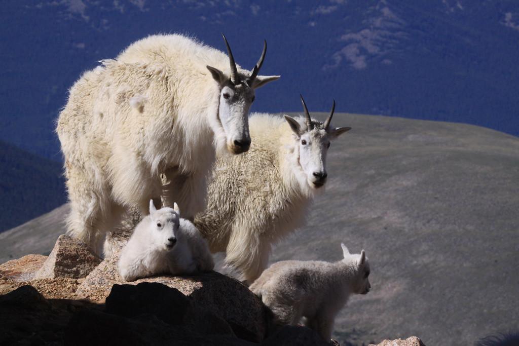Honorable Mention<br /> Mt Evans Goats 0611<br /> Janet Bigalke