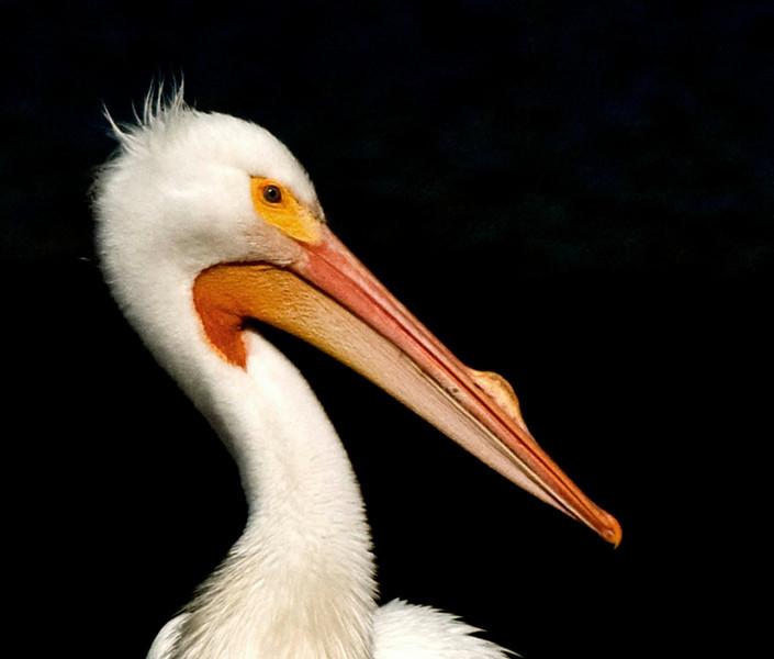 Third Place (Tie)<br /> White Pelican<br /> Ed Cohen