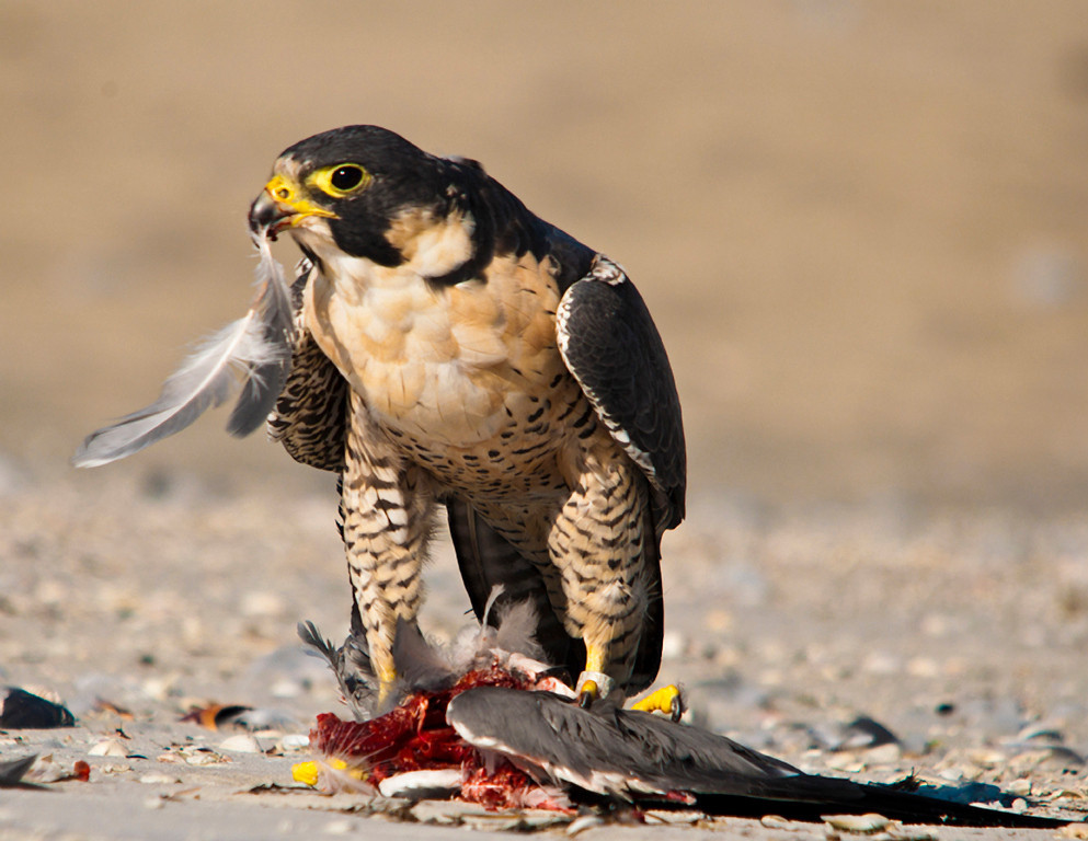 First Place<br /> Peregrine Falcon Lunch<br /> Ken Rathjen