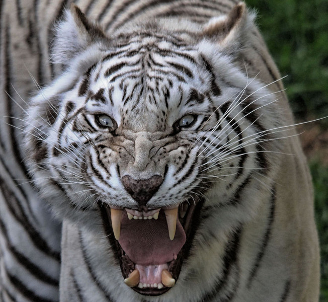 First Place (Tie)<br /> White Tiger Roar<br /> Paula Blackeby
