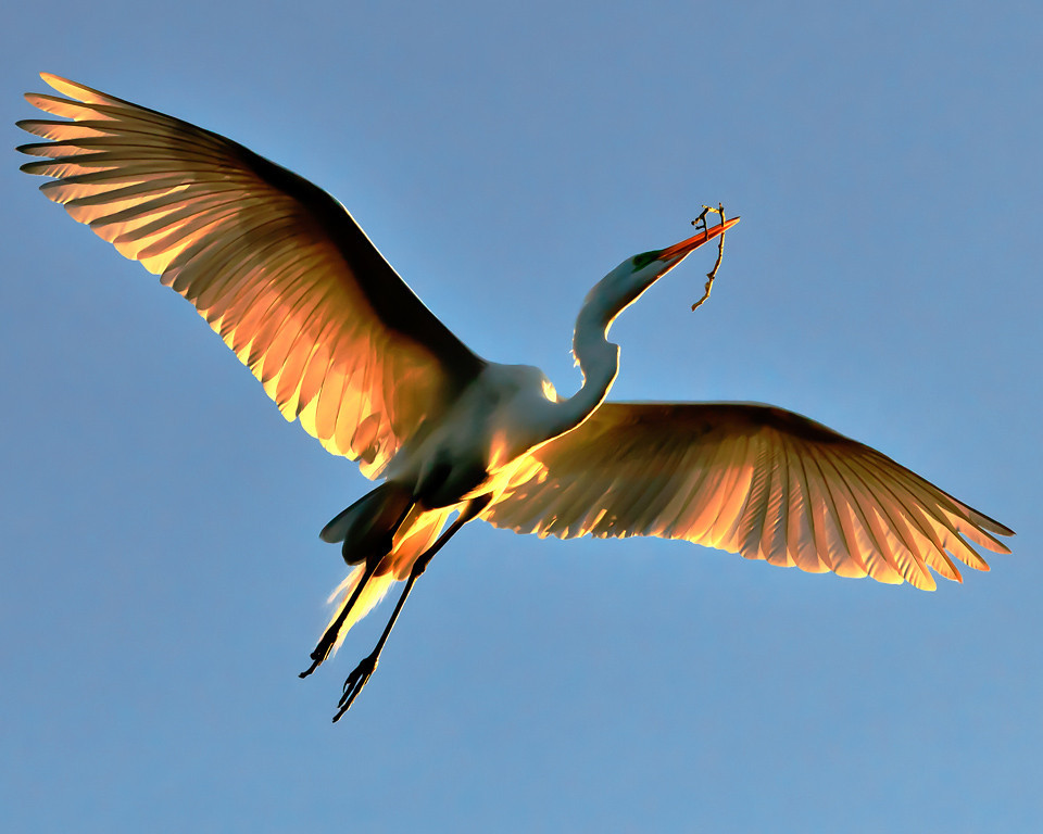 Nature Print Image of the Year<br /> Flying Home<br /> Dave Garrison