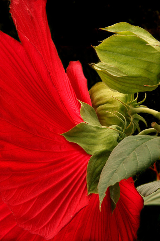 Open Print Image of the Year<br /> Red Hibiscus<br /> Dave Garrison