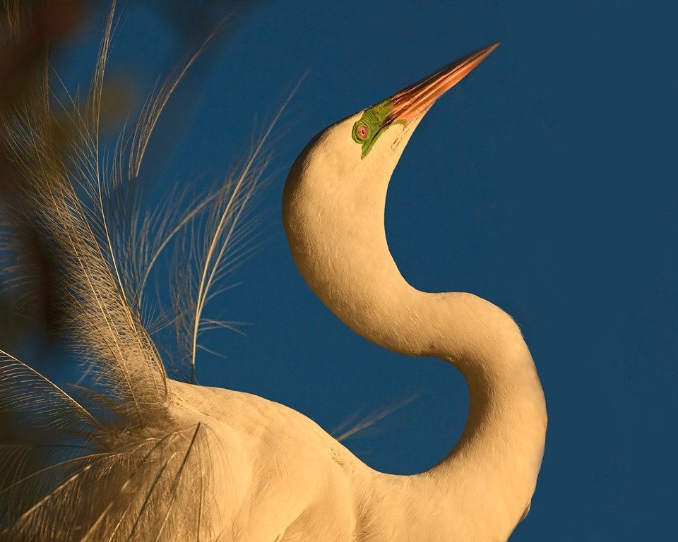 Nature Projection Image of the Year<br /> Egret Sunset<br /> Dave Garrison