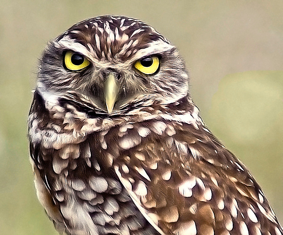 Third Place (Tie)<br /> Burrowing Owl<br /> Nancy Springer