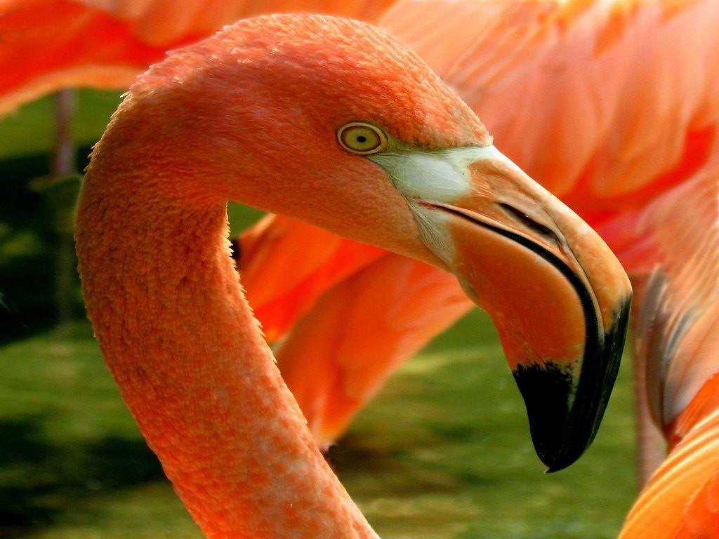Honorable Mention<br /> Flamingo<br /> Benjamin Carp