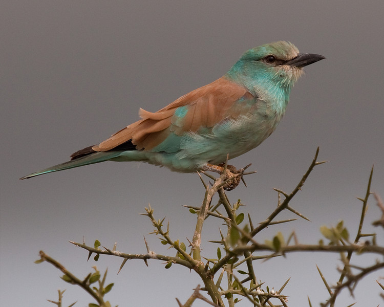 Second Place<br /> European Roller<br /> Carol Williamson