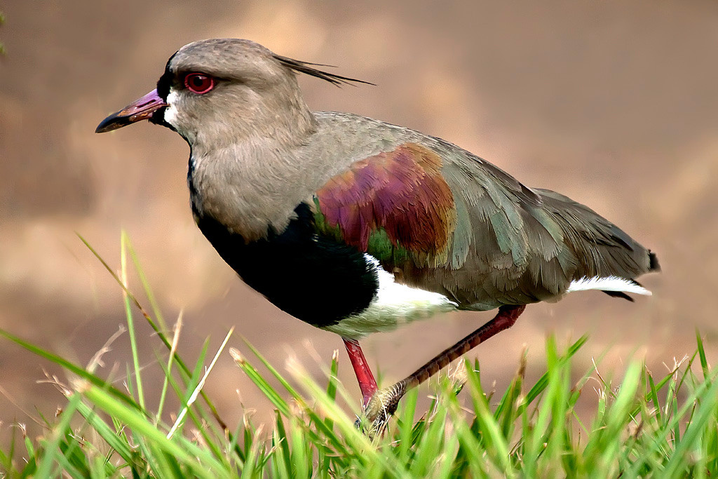 First Place (Tie)<br /> Southern Lapwing<br /> Dana Vannoy