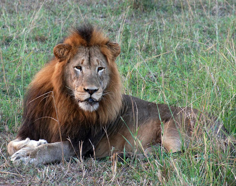 Second Place (Tie)<br /> Male Lion<br /> Della Landheer