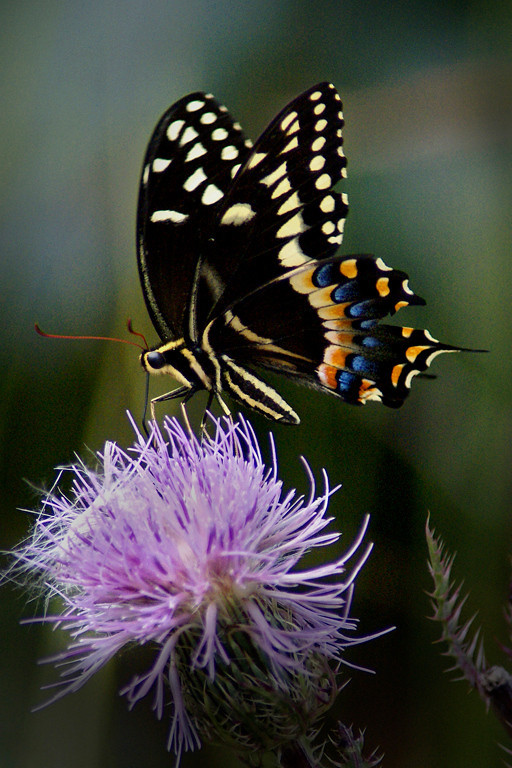 Second Place (Tie)<br /> Swallow Tail Butterfly<br /> Nancy Springer