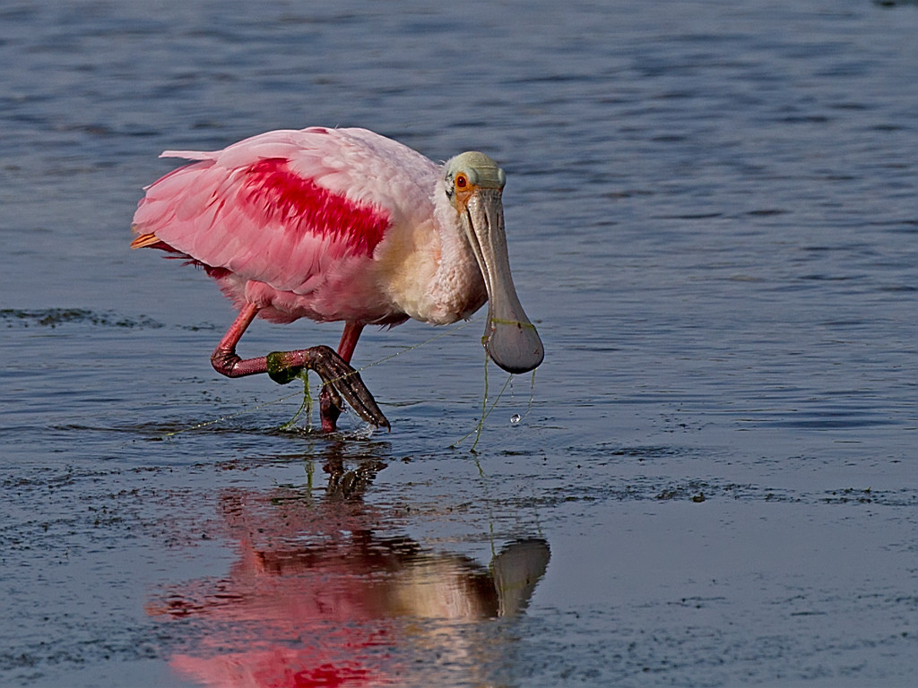 Second Place (Tie)<br /> Roseate Spoonbill<br /> Carol Williamson