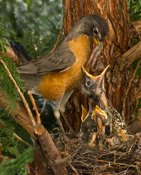 First Place<br /> American Robin<br /> Bob Bachand