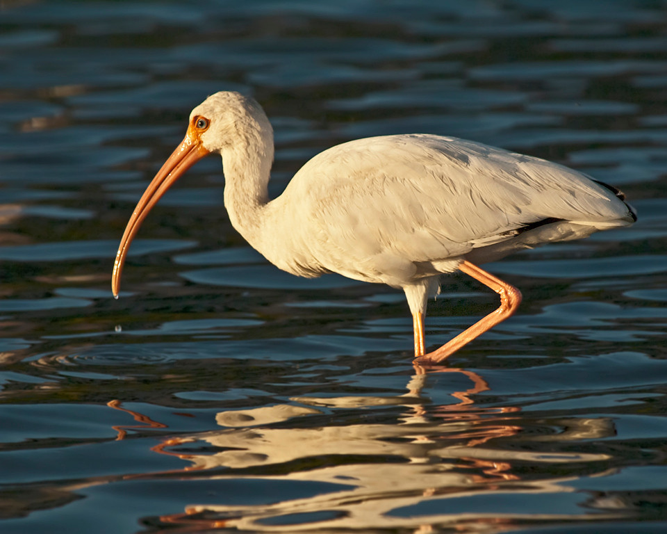 Second Place (Tie)<br /> Ibis On The Lake<br /> Nancy Springer