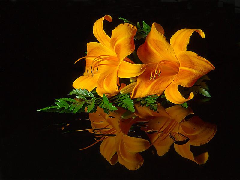 First Place<br /> Daylilies<br /> Carol Williamson