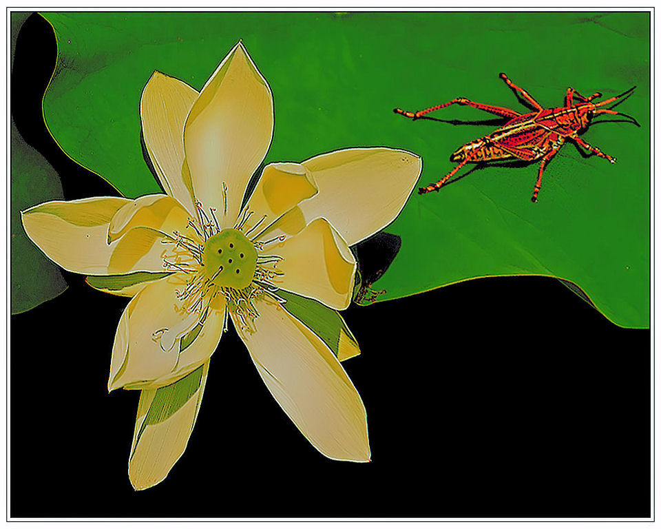 Honorable Mention<br /> Grasshopper The Lotus Knows<br /> Nic Provenzo