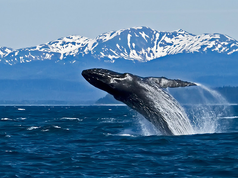 Honorable Mention<br /> Whale Breaching<br /> Carol Williamson