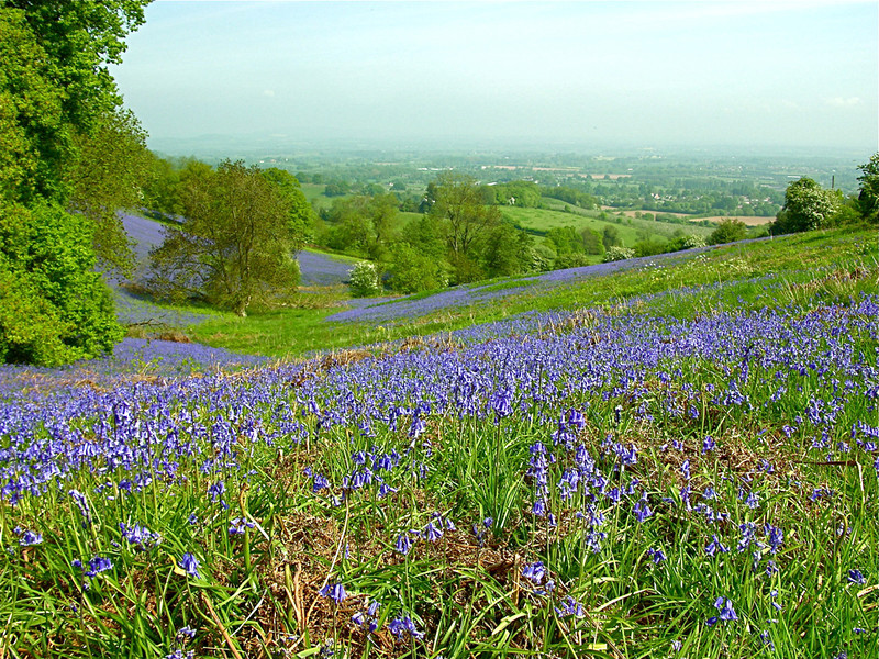 Angie Hill, Bluebells, Malvern - Other - Class B