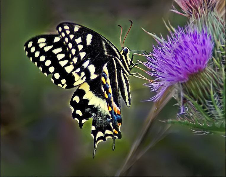 Second Place<br /> Swallowtail and Thistle<br /> Nancy Springer