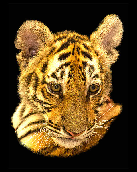 Honorable Mention<br /> Bengal Tiger<br /> Jay Feldman