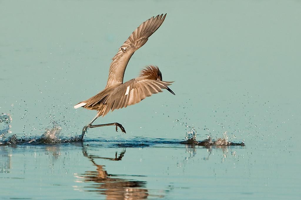 First Place<br /> Reddish Egret Hunts a Meal<br /> Walt Beaumont
