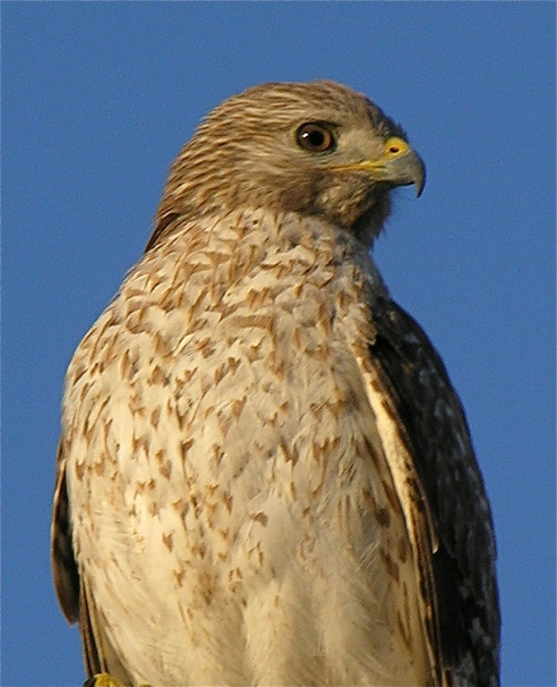 First Place<br /> Cooper's Hawk<br /> Angie Hill