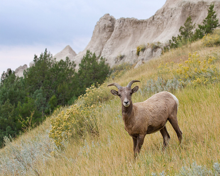 Third Place (Tie)<br /> Badlands Bighorn Sheep<br /> Mike Landwehr