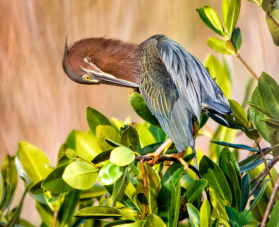 First Place (Tie)<br /> Green Heron<br /> Ed Cohen
