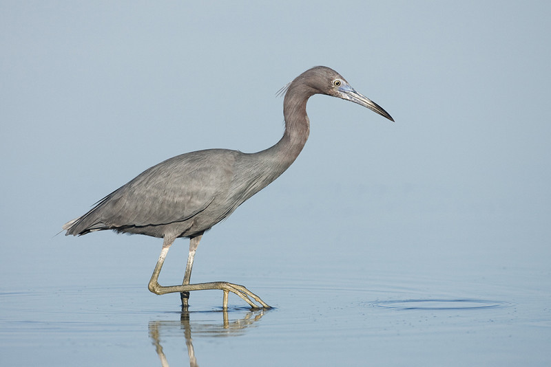 First Place (Tie)<br /> Little Blue Heron<br /> Mike Landwehr