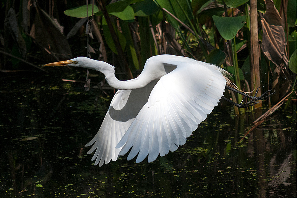 Second Place<br /> Great Egret<br /> Kathy Snead