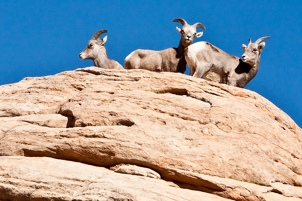 Third Place (Tie)<br /> Goats On High Rock<br /> Walt Beaumont