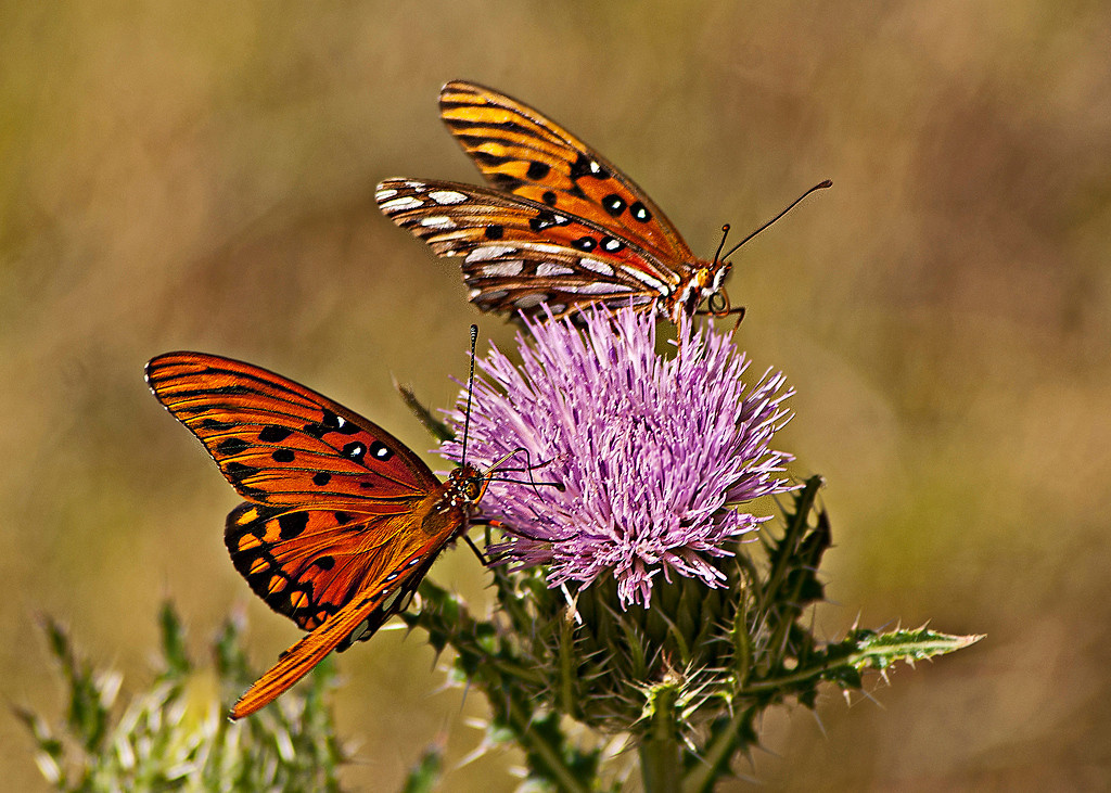 Third Place (Tie)<br /> Two Butterflies On Thistle<br /> Nancy Springer