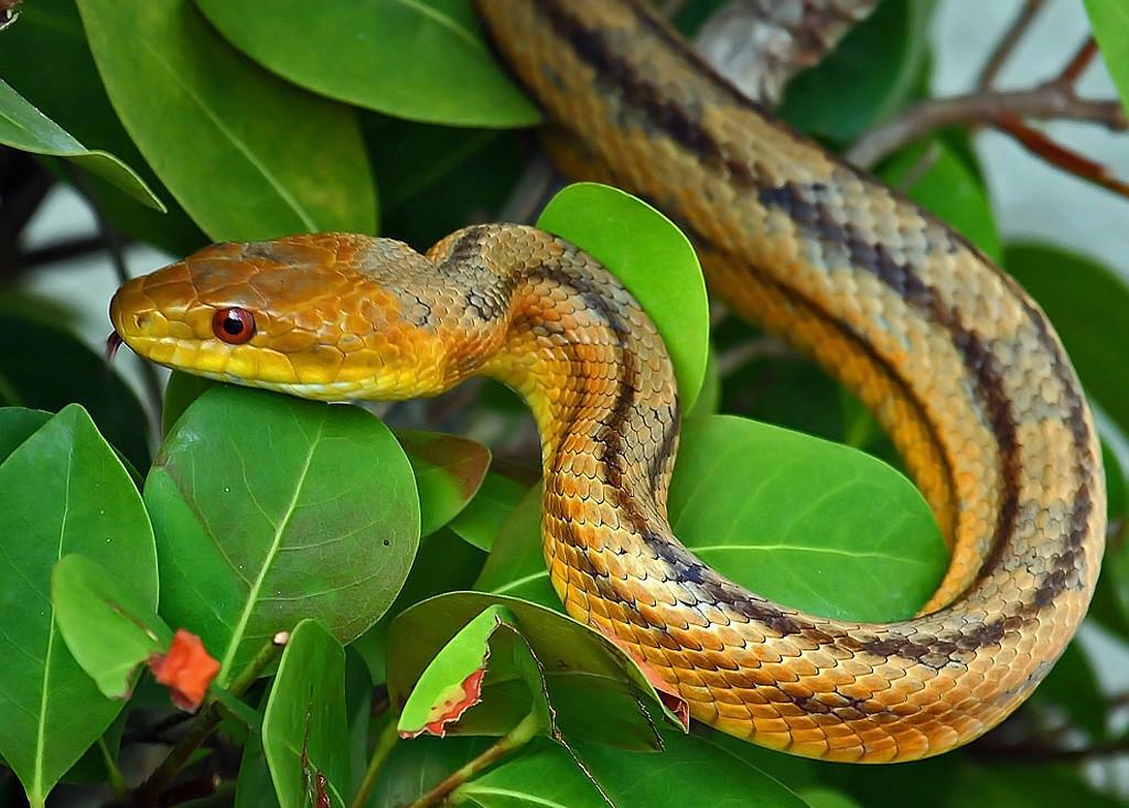 Third Place (Tie)<br /> Rat Snake<br /> Carmen Lopez
