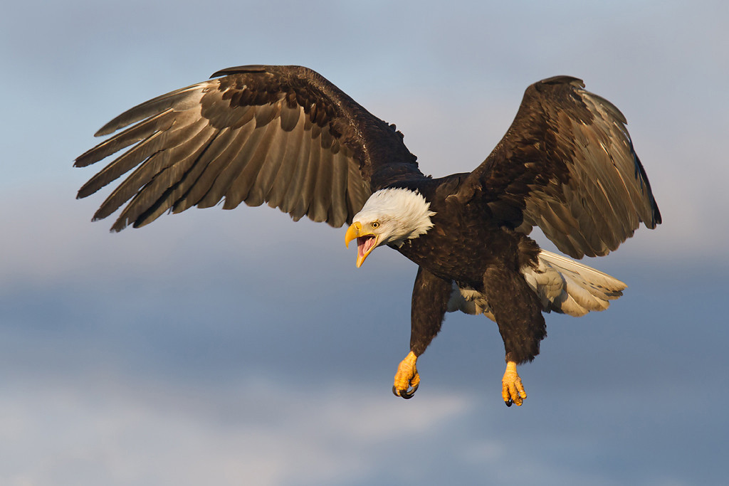 Nature Projection Image of the Year<br /> Sassy Eagle<br /> Mike Landwehr
