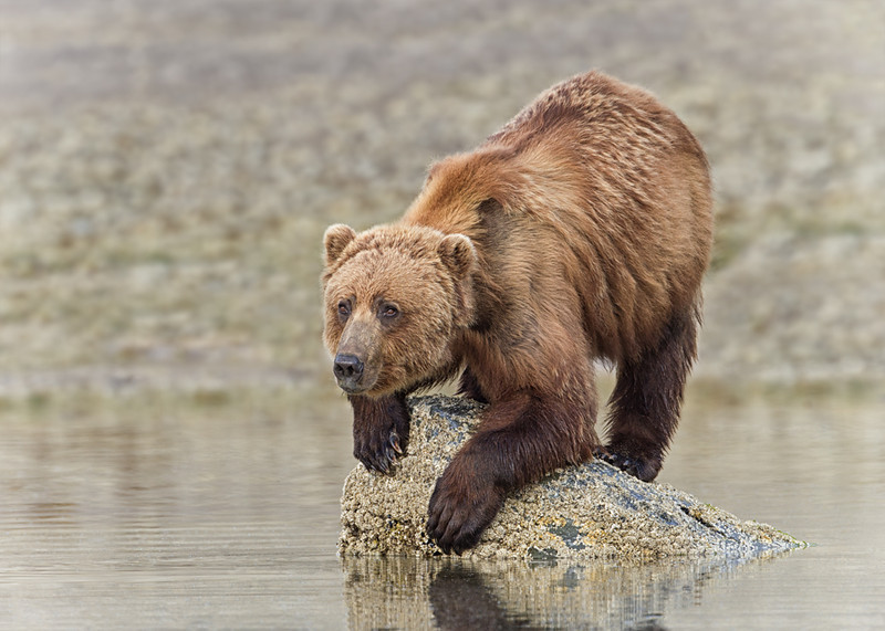 Nature Print Image of the Year<br /> Print Image of the Year<br /> Image of the Year<br /> Balancing Bear<br /> Mike Landwehr