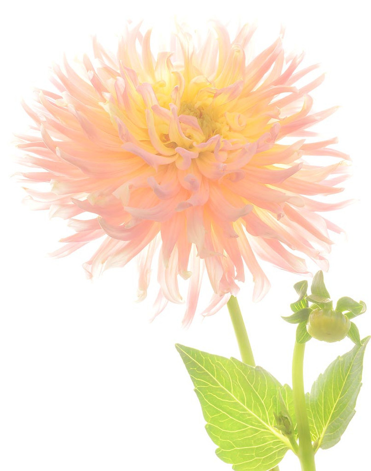 First Place<br /> Summer's End Dahlia<br /> Kathy Snead