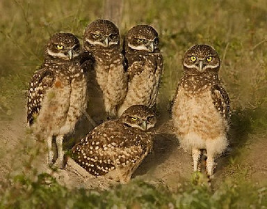 Honorable Mention (Tie)<br /> Juvenile Burrowing Owls<br /> Len Messineo