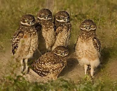 Honorable Mention (Tie)<br /> Juvenile Burrowing Owls<br /> Len Messineo