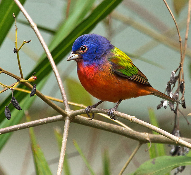 Second Place (Tie) <br /> Painted Bunting<br /> Bernard Howley