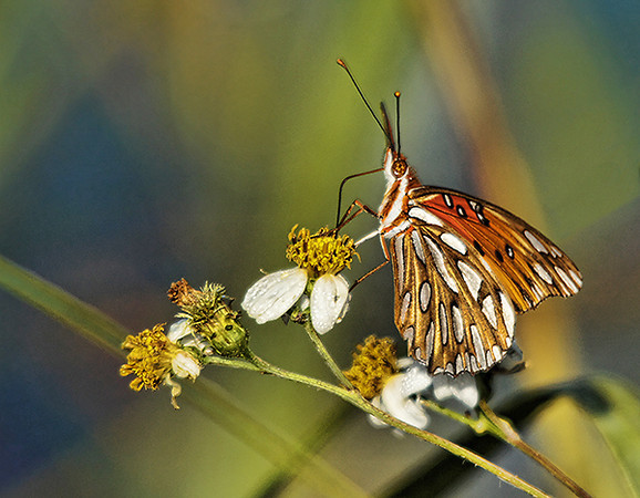First Place (Tie)<br /> Gulf Fritillary Butterfly<br /> Della Landheer