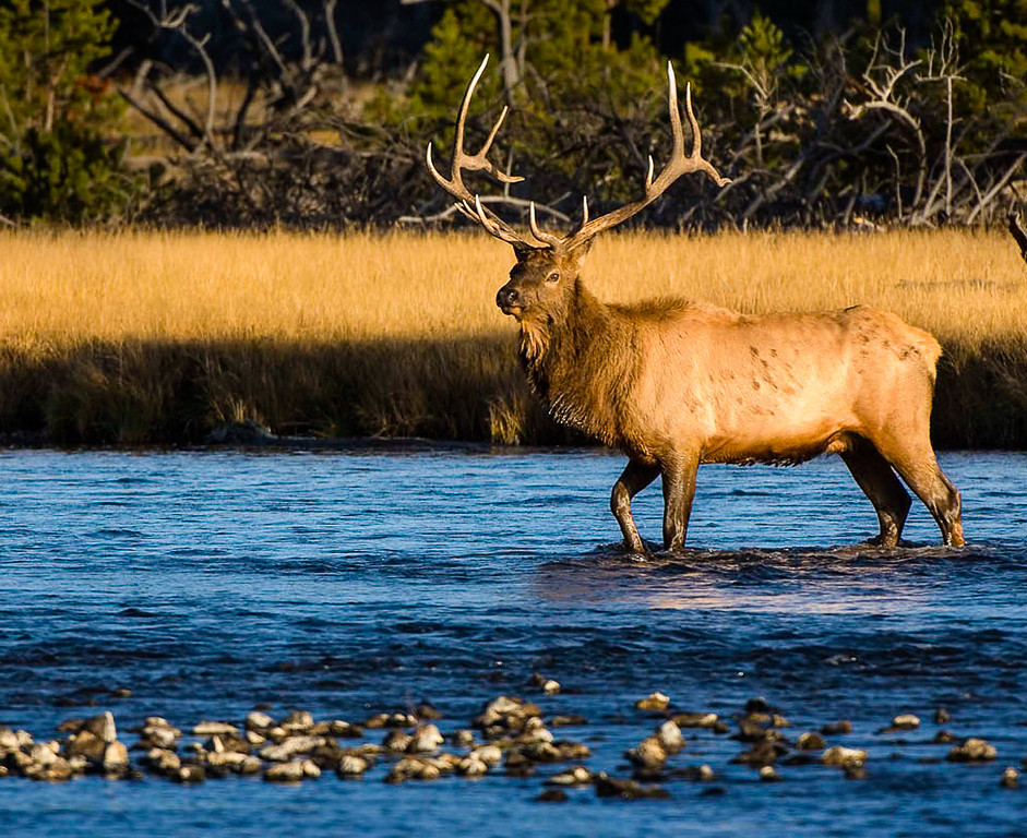 Third Place (Tie)<br /> Yellowstone Elk<br /> Don Snyder