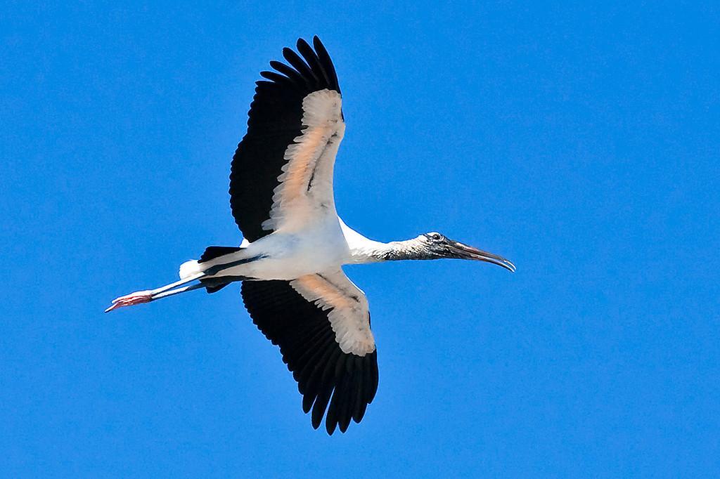 Third Place (Tie)<br /> Wood Stork in Flight<br /> Walt Beaumont