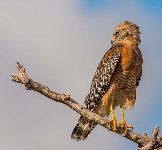 Third Place (Tie)<br /> Red Shouldered Hawk<br /> Hal Schillreff