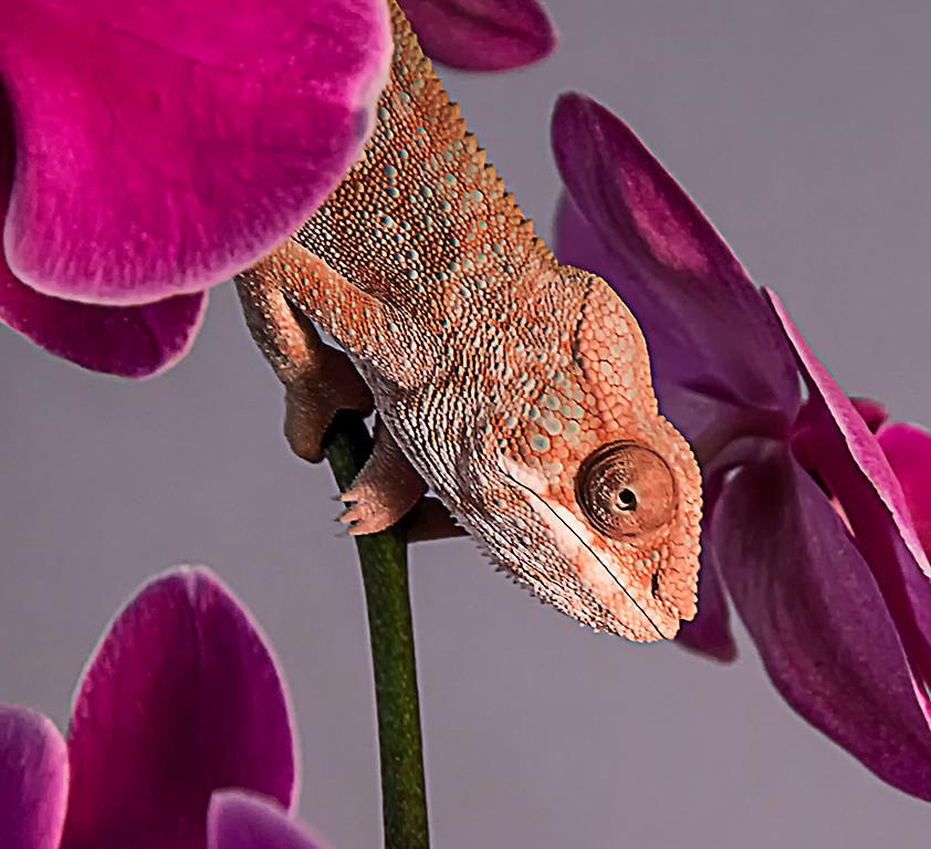 Second Place (Tie)<br /> Gecko On Orchids<br /> Nancy Springer
