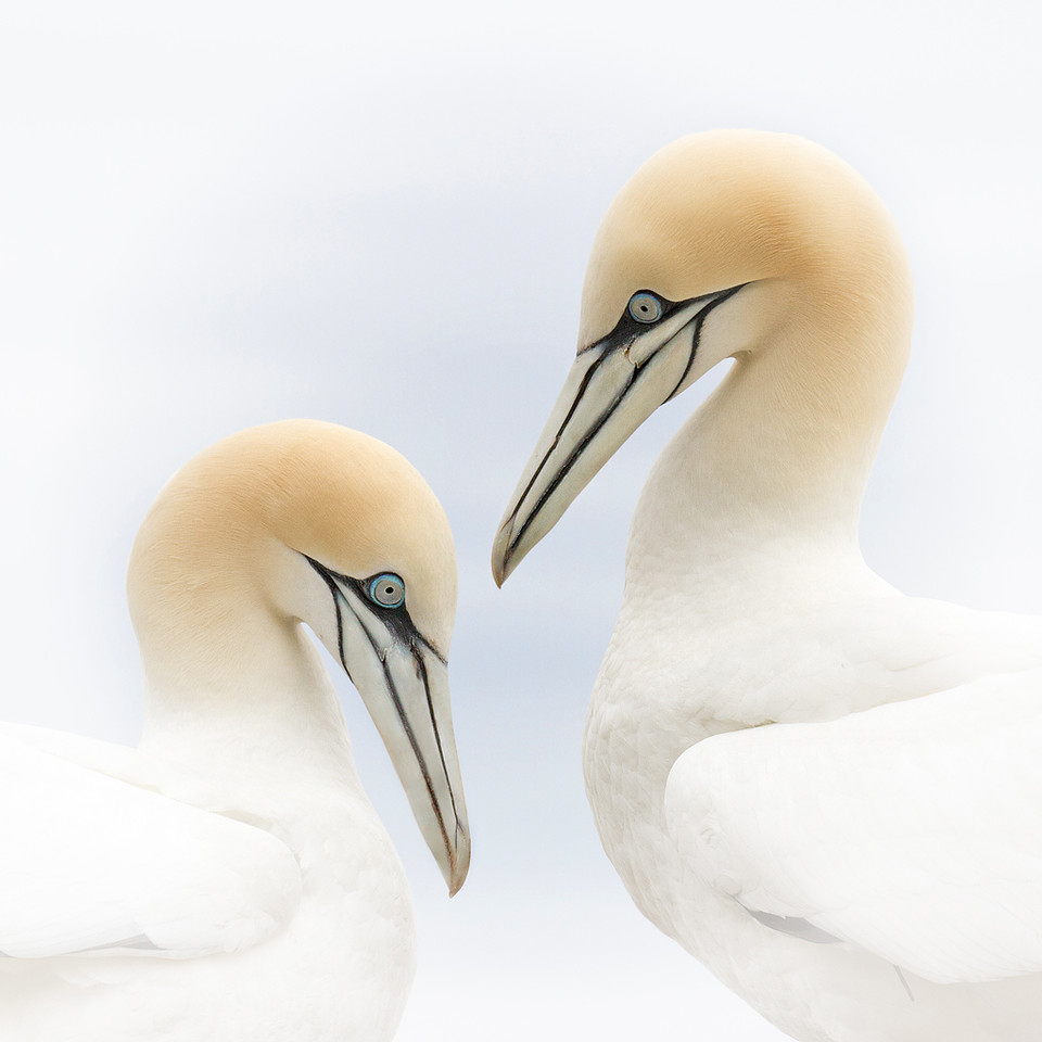 Nature Projection Image of the Year<br /> Projection Image of the Year<br /> Image of the Year<br /> Northern Gannets<br /> Mike Landwehr