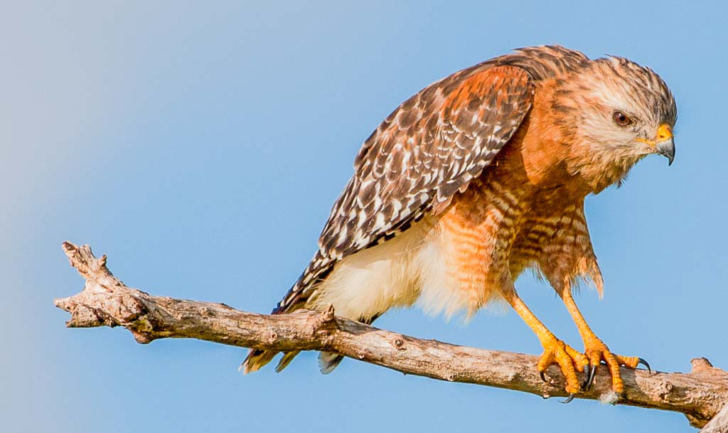 First Place (Tie)<br /> Red Shouldered Hawk<br /> Hal Schillreff