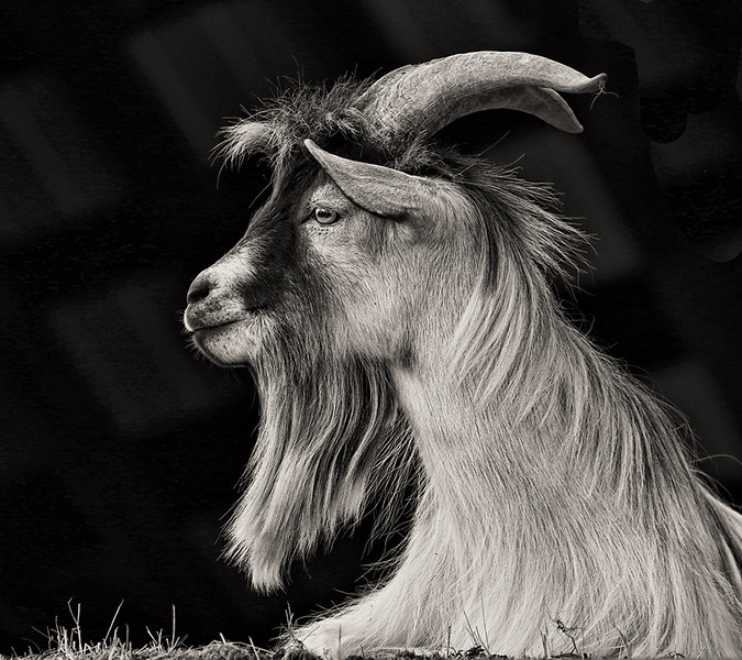 Image of the Year<br /> Print Image of the Year<br /> Monochrome Print Image of the Year<br /> The Old Goat<br /> Della Landheer